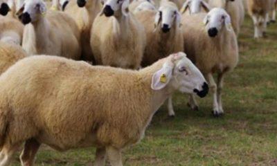 Anaç Koyunların Bakım ve Beslenmesi