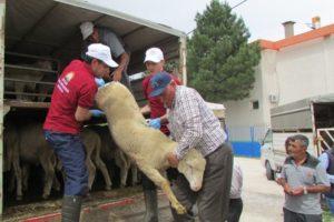 Anadolu Merinosu Damızlık Koç Dağıtımı