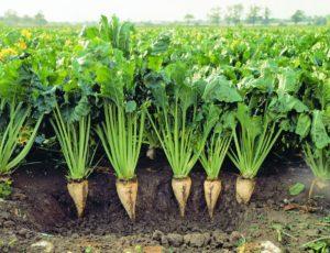 Diğer Yem Bitkileri