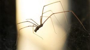 Evin içinde Neden örümcek öldürmemeniz Gerektiği