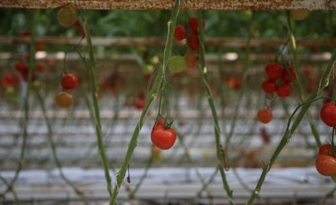 GAP Organik Tarıma Büyük ilgi Gösterdi