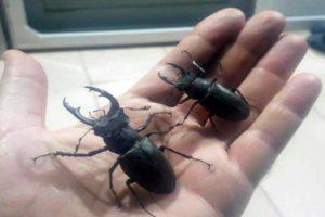 Geyik Böceği Japonlar Bu Böceğin Peşinde