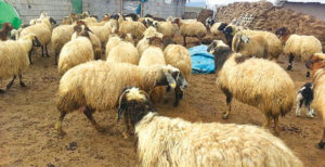 Koyun Yetiştiriciliğinin Avantajları