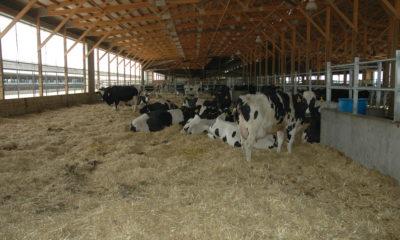 Kurudaki ineklerin Beslenmesi