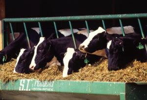 Laktasyondaki ineklerin Beslenmesi