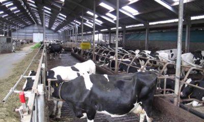 Süt Sığırcılığında Başarılı Olmanın Yolları