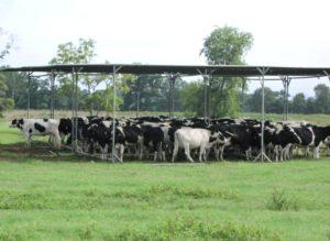 Sıcaklık Stresi ve Süt ineklerinin Beslenmesi