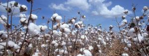 better cotton lisanslı pamuk