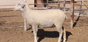 koyun bakım ve besleme