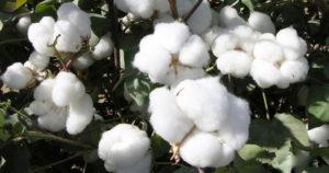 Dünyaca ünlü Markalar Better Cotton istiyor
