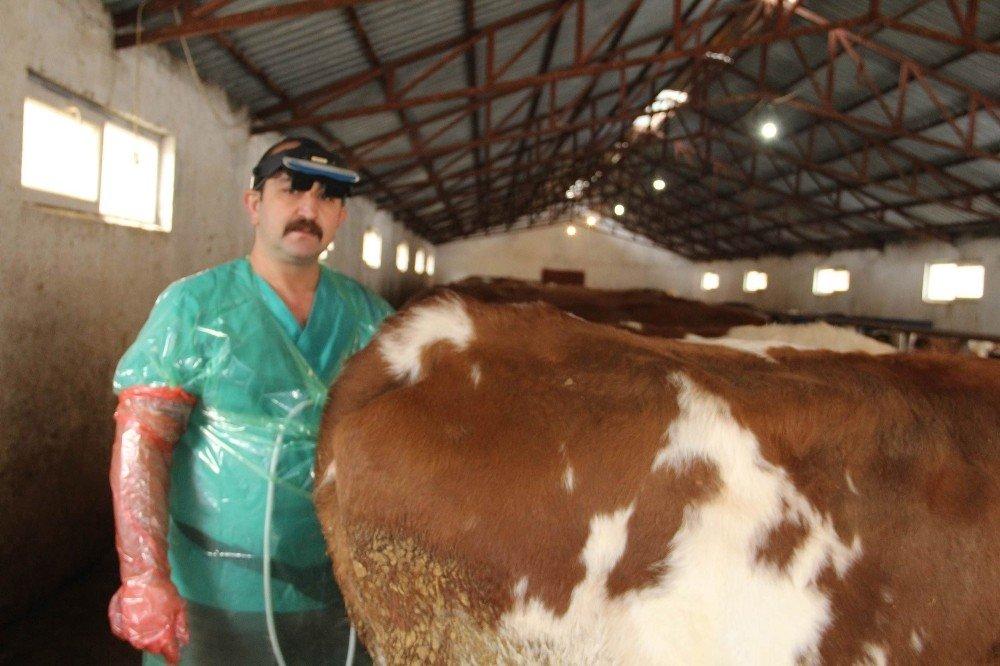 Sığırlarda Kısırlık ve Yumurtalık Kistleri