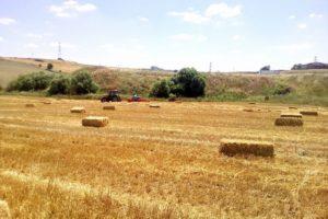 Saman Fiyatı Arpa Ve Buğdayla Yarışıyor
