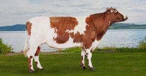 2018 Damızlık Dişi Sığır ve Fiyatları