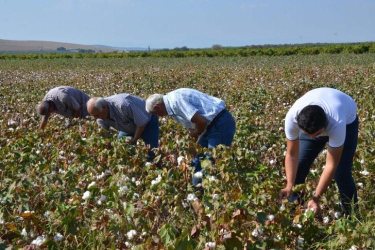 Bu yılın ilk pamuk hasadı yapıldı