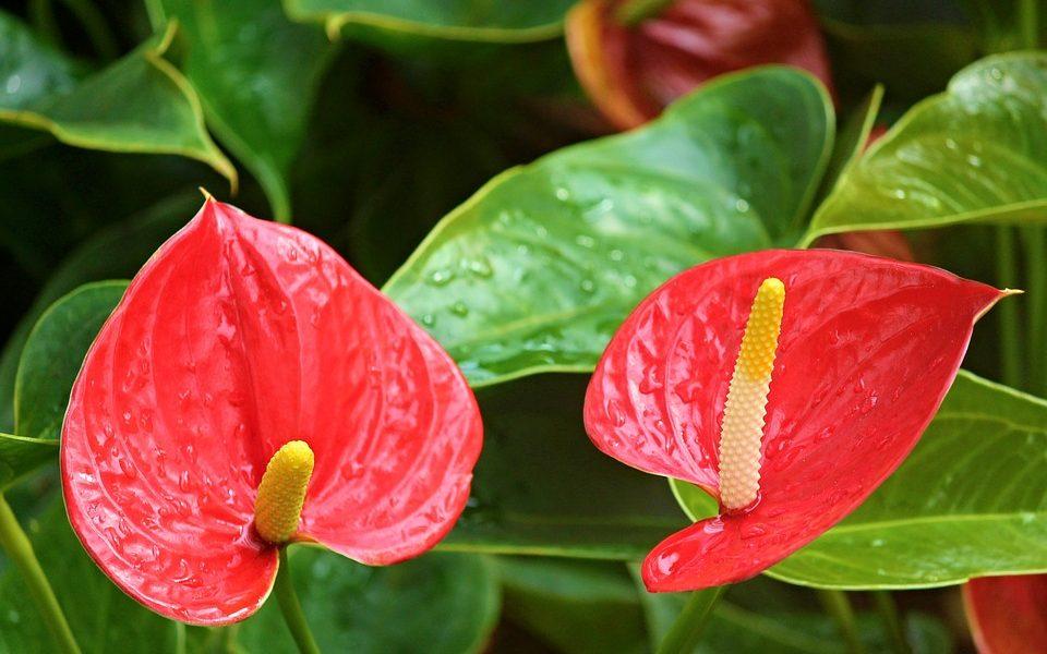 Flamingo çiçeği - Anthurium