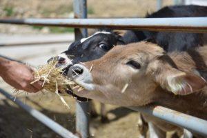 Hayvancılıkta yem fiyatları ve yaşanan kriz