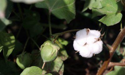 Ağrı dağı eteklerinde pamuk üretimi artıyor