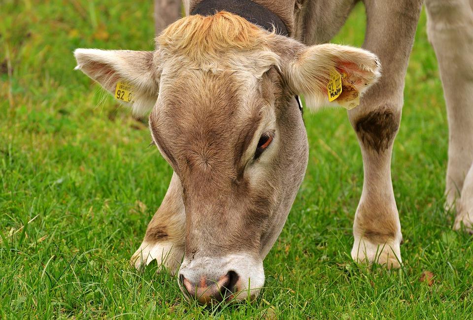 Süt sığırı sürülerinde sosyal düzen