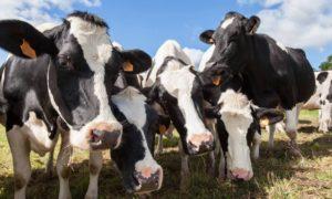 Sığırlarda görülen IBR ve IPV hastalığı son derece bulaşıcı