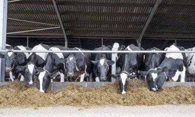 Sığırlarda rumen asidozu ve nedenleri