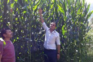 Silajlık Mısır Çiftçinin Yüzünü Güldürdü