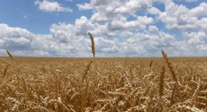 Toprak Mahsülleri Ofisi buğday ithal edecek