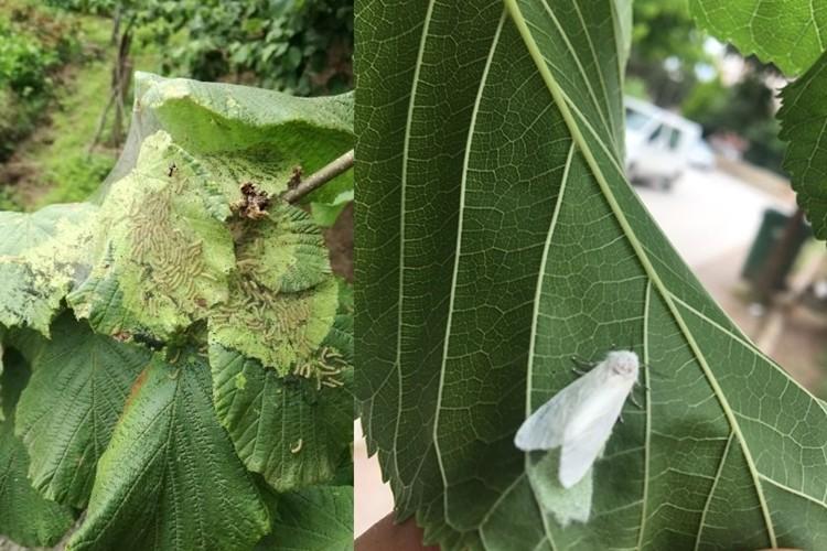 Amerikan Beyaz Kelebeği Zararlısına Karşı Mücadele Başarılı Oldu