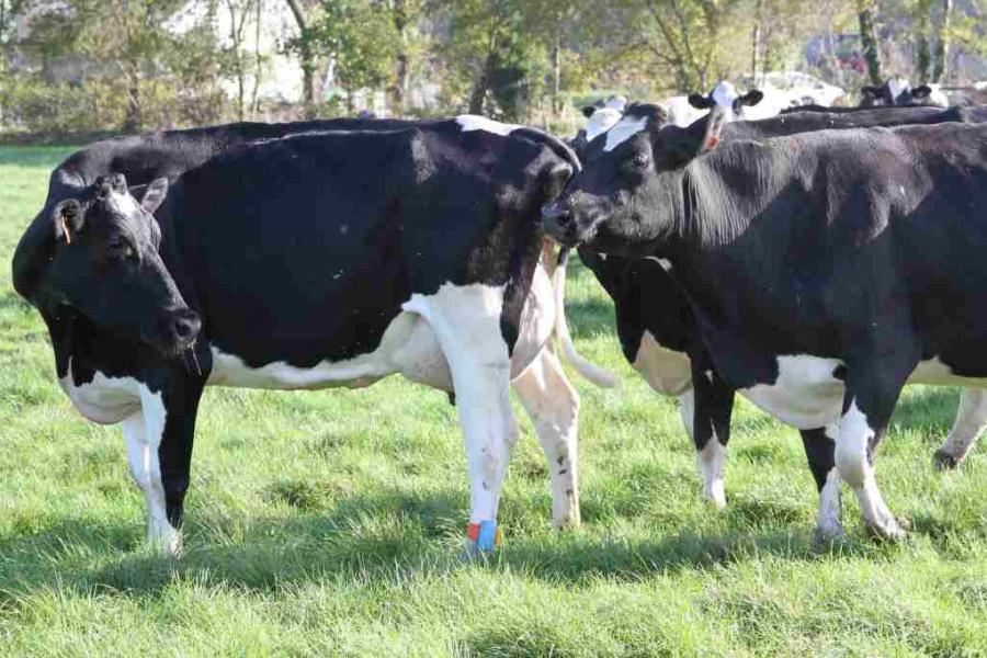 Süt sığırcılığı yetiştiriciliğinde suni tohumlamanın önemi