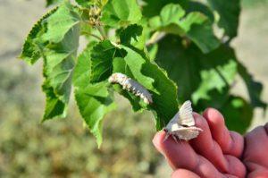ipek Böceği için Dut Ağacı Yetiştiriciliği