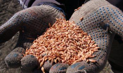 Çiftçi buğday ekemiyor, hepimiz aç kalacağız