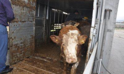 Genç Çiftçiler Bedava Verilen Hayvanları Almadı
