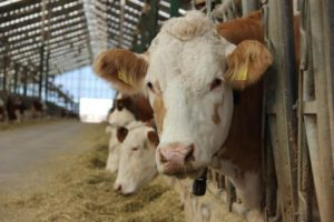 Hayvancılık sektöründe maliyet ve kayıplar arttı