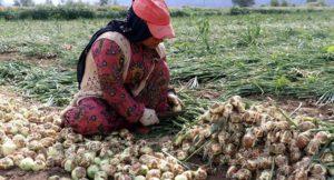 Patates ve soğanda fiyat artacak