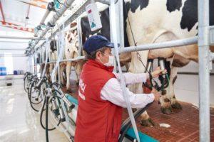 Toplanan inek sütü miktarı arttı
