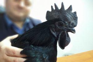 Ayyam Cemani cinsi tavuk ve horozlar görenleri hayretler içinde bırakıyor