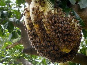Arı kolonilerinde oğul önleme yöntemleri