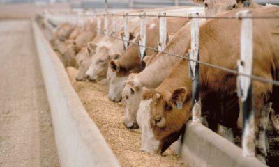 Sağmal ineklerde doğum sonrası iştahsızlık nedenleri