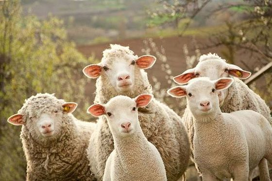 Koyunlarda Dış Parazit Mücadelesi