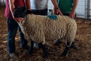 Suffolk koyun ve koç fiyatları dudak uçuklattı