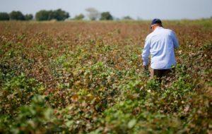 Pamukta görülen kırmızı örümcek çiftçilerin moralini bozdu