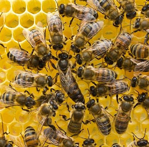 Ana arı satış ve sipariş